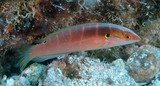 Coris dorsomacula Pink-lined rainbow wrasse New Caledonia fish identification Labridae