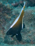 Heniochus varius Horned bull-fish Brown Butterflyfish Humphead bannerfish New Caledonia discover lagoon reef