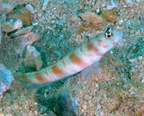 Amblyeleotris ogasawarensis 小笠原鈍塘鱧 Redspotted shrimpgoby New Caledonia