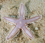 Astropecten polyacanthus Brown spotted combstar Marginal-spine seastar and sifting starfish New Caledonia biodiversity Echinorderm