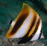 Coradion altivelis High-fin coral fish New Caledonia fish lagoon silver-white base color