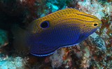 Pomacentrus Vaiuli Princess damselfish New Caledonia blue spot on the tail