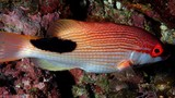 Bodianus bilunulatus Tarry hogfish New Caledonia oval shaped black saddle near the tail