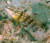 Amblygobius phalaena Whitebarred goby New Caledonia diving