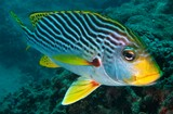 Plectorhinchus lineatus oblique-lined sweetlips New Caledonia fish collection