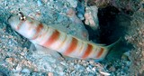 Amblyeleotris ogasawarensis Redspotted shrimpgoby New Caledonia nhabits clear coastal sand slopes