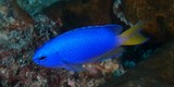 Pomacentrus coelestis Neon damselfish New Caledonia variable amounts of yellow