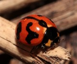 Coccinella transversalis transverse ladybird New Caledonia insect