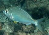 Gerres oyena Common silver-biddy New Caledonia mangrove fish