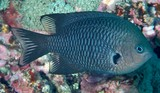 Pomacentrus nigriradiatus Blackray Damselfish New Caledonia Body of adult overall gray to gray brown