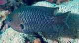 Pomacentrus nigriradiatus Blackray Damselfish New Caledonia New fish description