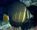 Zebrasoma velifer Pacific sail-fin surgeonfish New Caledonia