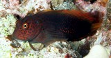 Cirripectes stigmaticus Red-streaked blenny New Caledonia Head and body dark brown with scarlet reticulum anteriorly which becomes spots and wavy lines posteriorly