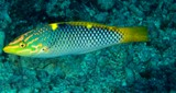 Halichoeres hortulanus Checkerboard wrasse New Caledonia Small juveniles black and white