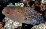 Gymnothorax javanicus Giant moray New Caledonia black specks that grade into leopard-like spots