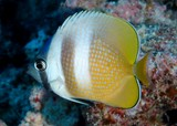 Chaetodon kleinii Sunburst butterflyfish New Caledonia Body is yellowish brown with two broad white vertical bars