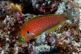 Macropharyngodon kuiteri Black leopard wrasse New Caledonia fish collection aquarium trade