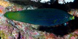 Labrichthys unilineatus Tubelip wrasse New Caledonia Inhabits shallow lagoon and semi-protected seaward reefs with high coral cover