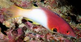 Bodianus axillaris Coral hogfish New Caledonia dramatic color change with growth