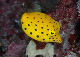 Ostracion cubicus Yellow boxfish cube trunkfish New Caledonia lagoon fish identfication
