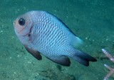 Dascyllus trimaculatus Three spot damselfish New Caledonia Geographic and behavioral color of adults variable