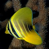 Zebrasoma velifer Juvenile Pacific sailfin tang  alternating yellow and black bars