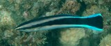 Labroides dimidiatus Bluestreak cleaner wrasse New Caledonia black stripe from the eye to the caudal fin margin