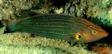 Halichoeres melanurus Pinstriped wrasse New Caledonia Stripes on male body blue-green and orangish in life