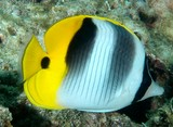 Chaetodon ulietensis Pacific double-saddle butterflyfish New Caledonia  vertical lines and two dark bands on the body
