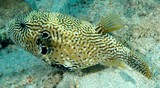 Arothron mappa Map puffer New Caledonia Body covered with prickles