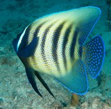 Pomacanthus sexstriatus Six band angelfish New Caledonia Yellow body with black vertical stripes