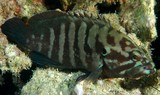 Cephalopholis boenak Brown-banded grouper New Caledonia rounded caudal fin