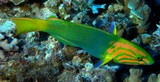 Thalassoma lutescens female New Caledonia fish lagoon reef