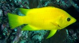 Epibulus insidiator Slingjaw wrasse female yellow New Caledonia