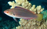 Cirrhilabrus punctatus Black-finned wrasse New Caledonia Fish collection