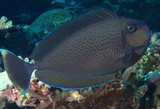 Naso vlamingii Bignose unicornfish New Caledonia body with vertical blue lines