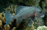 Plectorhinchus chaetodonoides Harlequin sweetlips Night picture adult New Caledonia underwater photography tourism