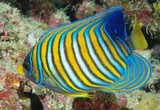 Pygoplites diacanthus Regal angelfish New Caledonia  yellow and black-edged white bars on the body