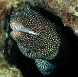 Gymnothorax meleagris turkey moray eel Muraenidae New Caledonia Coral Sea underwater picture photographer