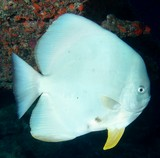 Platax teira Tail fin batfish New Caledonia white body