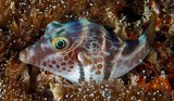 Canthigaster valentini Valentinni's sharpnose puffer New Caledonia Actinopterygii Tetraodontiformes