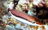 Gomphosus varius Juvenile Brown bird wrasse New Caledonia two black stripes along the length of the body