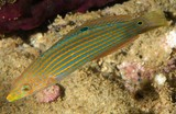 Halichoeres melanurus Tail-spot wrasse New Caledonia dark spot behind eye contained within a brown band
