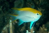 Neoglyphidodon melas Black damsel fish Blue and gold damsel-fish Bowtie Royal damsel New Caledonia