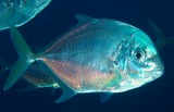 Carangoides coeruleopinnatus Coastal trevally New Caledonia  indistinct darker bars and scattered yellow spots on sides
