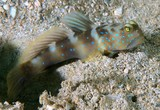 Cryptocentrus fasciatus Y-bar shrimp goby New Caledonia