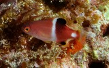 Bodianus perditio Golden-spot hogfish juvenil New Caledonia