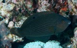 Halichoeres marginatus Dusky wrasse female New Caledonia brown with darker narrow stripes along the sides