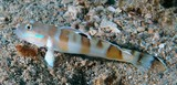 Valenciennea wardii Broad-barred sleeper-goby Juvenile New Caledonia pale grey to whitish body