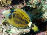 Cantherhines fronticinctus Spectacled filefish New Caledonia Body overall pale greyish-brown